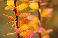 European barberry (Berberis vulgaris). Parque Natural del Alto Tajo, Guadalajara province, Spain