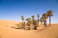 Date Palms (Phoenix spec.), in the Libyan Desert, Um el Ma Oasis, Libya, Sahara, North Africa, Africa