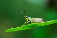 Slant-faced Grasshopper (Gomphocerinae) on a blade of grass