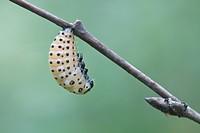 Larva of the poplar leaf beetle (Chrysomela populi), metamorphosis