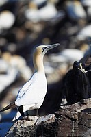 Northern gannets (Sula bassana or Morus bassanus). Bass Rock, Scotland.