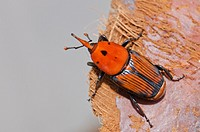 Red Palm Weevil adult (Rhynchophorus ferrugineus) as found when treating an infested Canary palm tree, Spain.