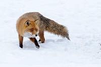 Red fox (Vulpes vulpes), in rut
