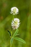 Trefoil Trifolium montanum Germany