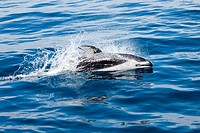 Pacific Ocean, Mexico, Ensenada, Pacific White_sided Dolphin Lagenorhynchus obliquidens breaking ocean surface.