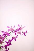 Hawaii, Kauai, Purple orchids with pink studio background.
