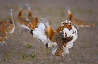 Great Bustards Otis tarda, Spain.