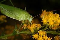 Common sickle cricket Phaneroptera falcata / Bush crickets Phaneroptera falcata