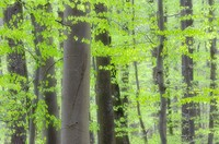 Spring deciduous forest with new foliage, blur  Bavaria, Germany, Europe