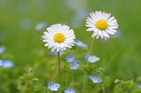 Daisy Bellis perennis, close up  Bavaria, Germany, Europe