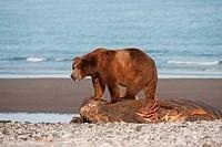 Kodiak brown bear Ursus arctos middendorffi feeding on a seal, Swikshak, Katami Coast, Alaska, USA
