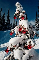 Low angle view of a snow covered Christmas tree, Dream Lake, Estes Park, Rocky Mountain National Park, Colorado, USA