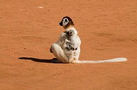 Madagascar, Berenty Private Reserve, Verreaux´s sifaka Propithecus verreauxi mother carries her child