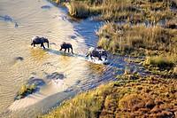 African Elephants Loxodonta africana, crossing the river Aerial View of the Okavango Delta, Botswana