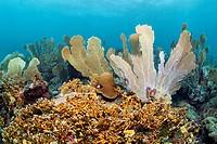 Coral reef, Venus sea fans (Gorgonia flabellum), Branched fire coral (Millepora alcicornis), yellow, Little Tobago, Speyside, Trinidad and Tobago, Lee...