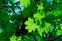 Green leaves of a tree in summer