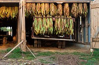 Tobacco crop hangs to dry inside white barn on Amish farm in Lancaster County, Pennsylvania