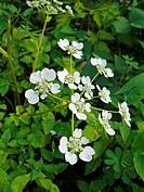 Panda, Pinda Concanensis, White colored wild Flowers