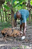 Elderly farmer feeding pigs, Petit Goave, Haiti, Caribbean, Central America