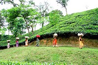 Women workers carry bag of tea leaves at tea garden at Srimangal, Bangladesh Tea is a major industry in Bangladesh and grows in the low hills of Chitt...