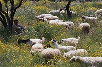 Shepherd with goats and sheep on flower meadow, Sicily, Italy, Europe