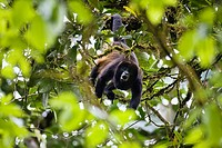Mantled howler monkey howling, Alouatta palliata, Braulio Carillio Nationalpark, Costa Rica