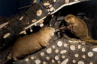 Stuffed beavers in a beavers' lodge, natural history collections, museum, Ulm, Baden-Wuerttemberg, Germany, Europe