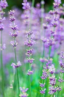 field with many flowers of lavender
