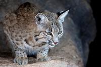 Bobcat Lynx rufus, Arizona-Sonora Desert Museum, Tucson, Arizona, USA