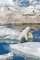 A young polar bear Ursus maritimus leaping from ice floe to ice floe on multi-year ice floes in the Barents Sea off the eastern coast of Edge¯ya Edge ...