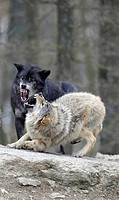 Rebuke of lower-ranking by higher-ranking wolf, fight, Mackenzie Wolf, Canadian wolf, Timber wolf (Canis lupus occidentalis)