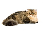 GOLDEN PERSIAN CAT, ADULT AGAINST WHITE BACKGROUND