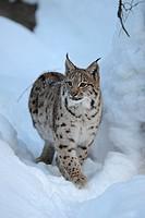 Eurasian Lynx (Lynx lynx), cub, running through deep snow, compound, Bavarian Forest National Forest, Bavaria, Germany, Europe