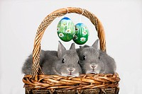 Easter bunnies and Easter eggs in a basket, Marburger Feh rabbit breed