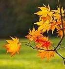 Japanese maple trees back lit at Maryland.