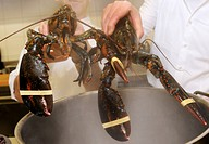 Lobster about to be boiled
