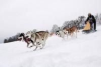 Siberian Huskies, Winterberg Sled Dog Races 2010, Sauerland, North Rhine-Westphalia, Germany, Europe