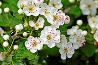 Oneseed Hawthorn, Crataegus monogyn blossoms crowd together  Blossoms of the hawthorn can be used for making wine and honey  Berries of the hawthorn a...