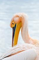 White Pelican Pelecanus onocrotalus, Crete