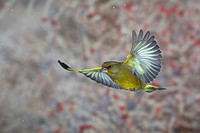 Greenfinch (Carduelis chloris) in flight, winter, Thuringia, Germany, Europe