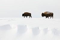 American bisons (Bison bison) in winter