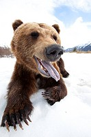 Humorous wide_angle close up of an open_mouthed adult Brown bear sow at the Alaska Wildlife Conservation Center near Portage, Southcentral Alaska, Spr...