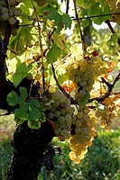 Semillon wine grapes at Chateau Monbazillac vineyard, Dordogne, Aquitaine, France, Europe