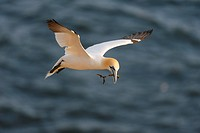 Northern Gannet (Sula bassana) flying, with nesting material, North Sea, Heligoland, Schleswig-Holstein, Germany, Europe
