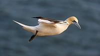 Northern Gannet (Sula bassana) flying, North Sea, Heligoland, Schleswig-Holstein, Germany, Europe