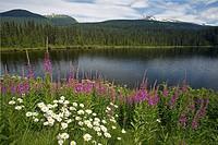 Rosebay Willowherb (Epilobium angustifolium) and Oxeye Daisies (Leucanthemum vulgare), British Columbia, Canada