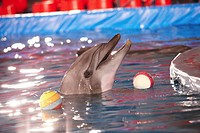 Close_up of playful dolphin in water with two balls near by