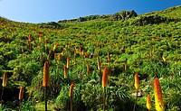 RED HOT POKER Kniphofia Uvaria, Simien Mountains National Park, Ethiopia, Africa.
