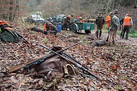 Driven hunt and battue for wild boars in the Odenwald, Heidelberg, Baden-Wuerttemberg, Germany, Europe