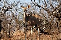Female Kudu (Tragelaphus strepsiceros), Kruger National Park, South Africa, Africa